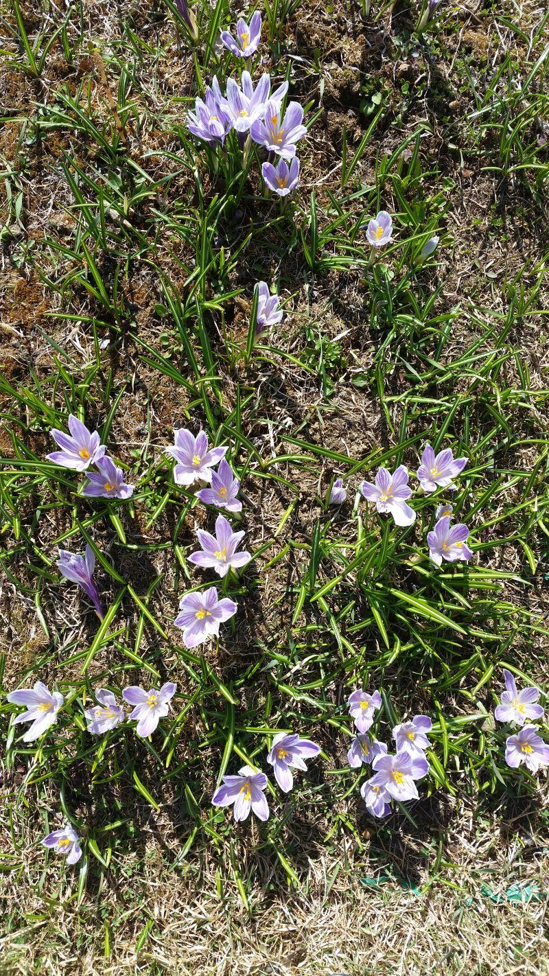 2016-maj-22-krokus-blommar